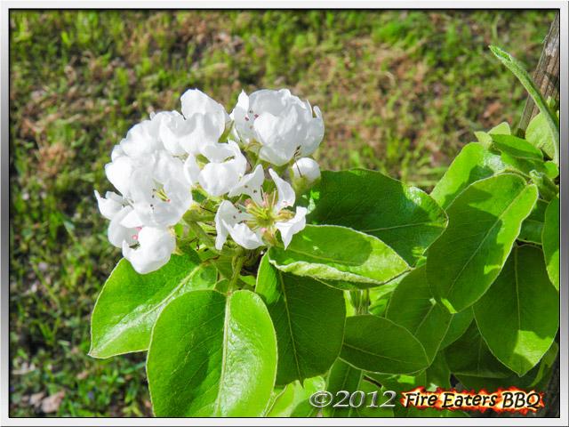 Blüten eines Birnenbaums