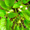 Chilipflanze mit Blüten und Früchte