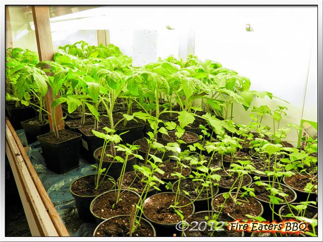 Tomaten und Selleriepflanzen