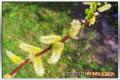 Die Kätzchenweide produziert reichlich Pollen