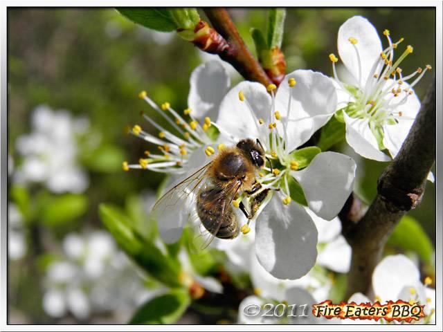 Bild - Biene in einer Mirabellenblüte