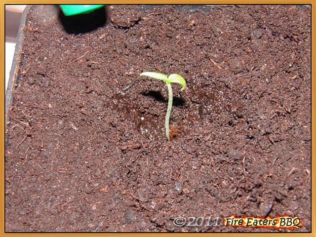 Die Pflanzen werden eingeschlämmt - nicht angedrückt!