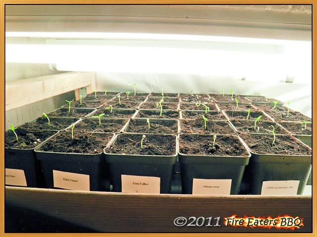Gemüsepaprika benötigen ebenfalls rund 12 Stunden Licht am Tag