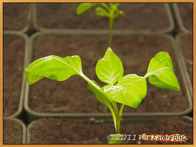 Kleine Chilipflanze mit Laubblättern