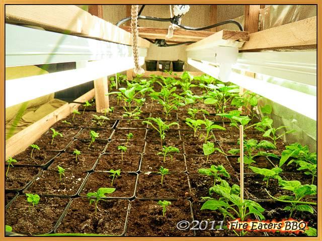 Ein Blick unter die Lichtanlage - die Pflanzen wachsen und gedeihen