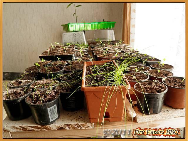 Auf der Lichtanlage wachsen die Selleriepflanzen, Porree und Zwiebeln