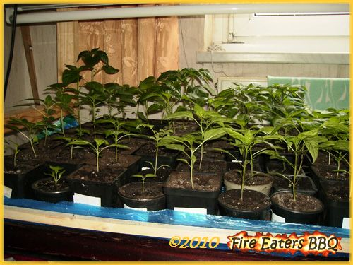 Bilder unserer Chilis, Paprika, Physalis und Tomaten