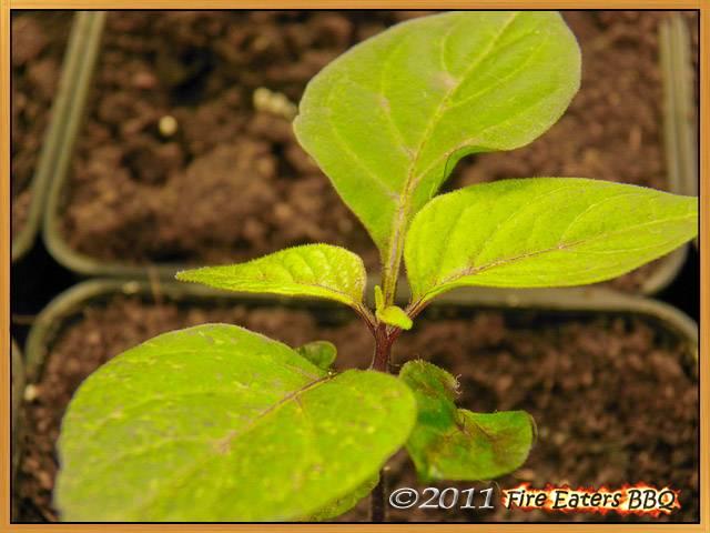 Die Blätter der Pimenta da Neyde färben sich langsam violett