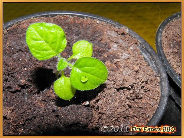 Kleine Physalispflanze