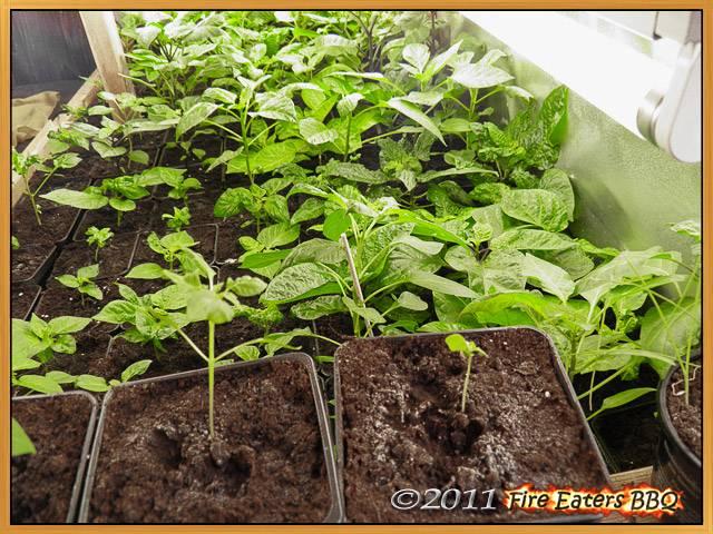 fire eaters bbq chilisaison 2011 eine woche vor dem auspflanzen. Black Bedroom Furniture Sets. Home Design Ideas