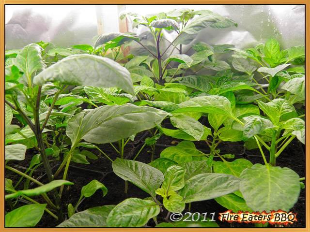 Bereit zum Auspflanzen - die Chilis der ersten Aussaat