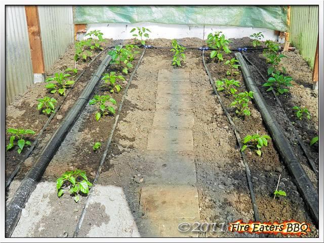 Bild - Die reparierte Bewässerung im Paprikagewächshaus