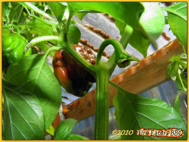 fire eaters bbq das wetter wird besser die pflanzen wachsen. Black Bedroom Furniture Sets. Home Design Ideas