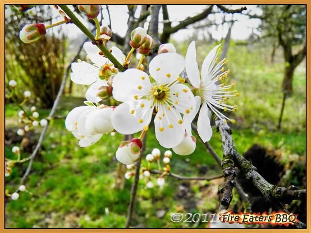Bild - Blühender Mirabellenbaum