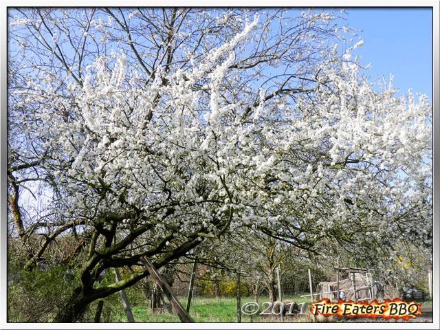Bild - Der Mirabellenbaum in voller Blüte