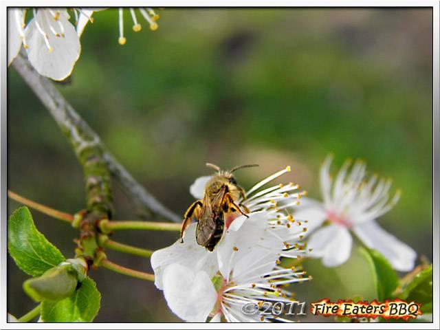 Bild - Fleissige Insekten in der Obstblüte