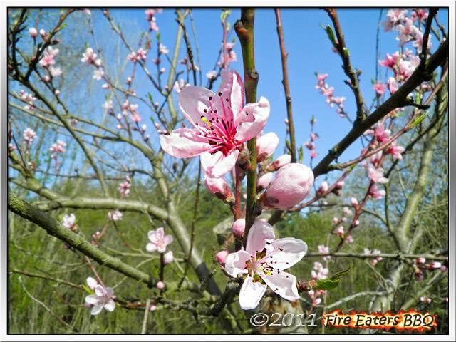 Bild - Pfirsich in Blüte