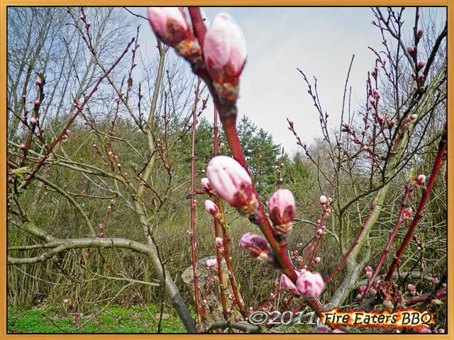 Bild - Blütenknospen am Pfirsichbäumchen
