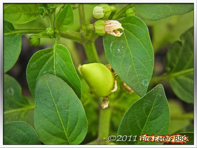 Bild - erste Früchte an einer Tennessee Tear Drops