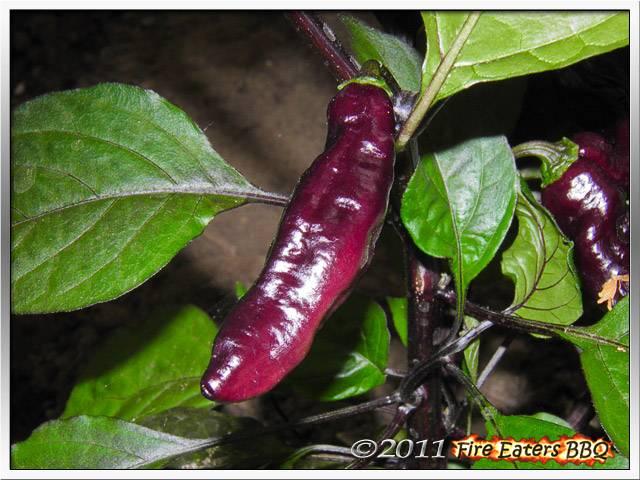 Bild - Beere einer Pimenta da Neyde