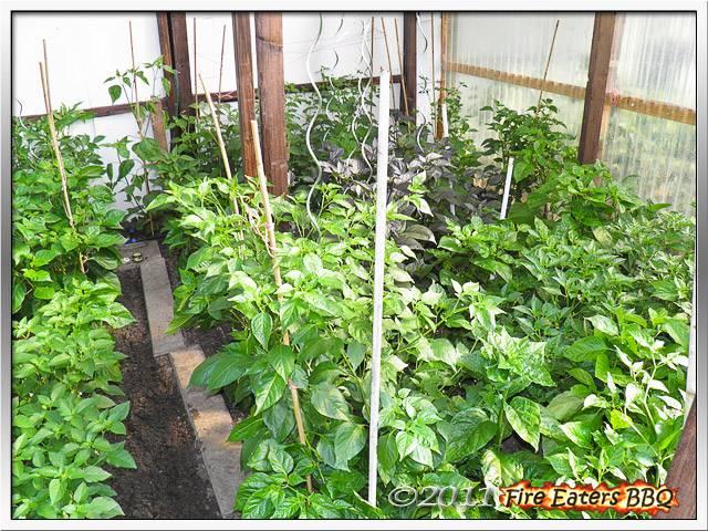 Bild - Kräftige Chilipflanzen