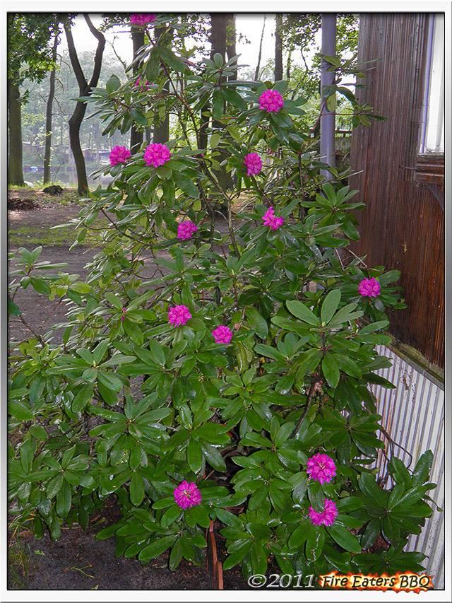 Bild - Unser Rhododendron