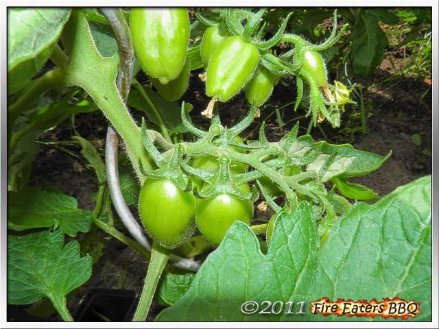 Bild - Früchte einer San Marzano Tomate